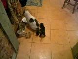 Маленький такс охотится на кота