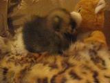 В продаже миниатюрный шпиц (мишка )Вопросы по т. 89119982980 Ольга.